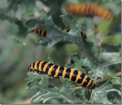 4-Cinnabar-caterpillar