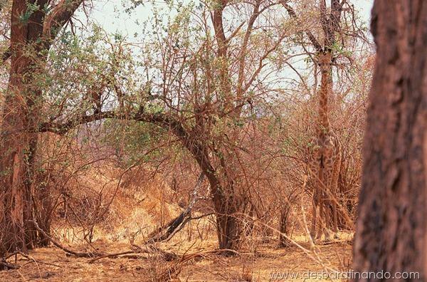 camuflagem-invisivel-animal-camouflage-photography-art-wolfe-desbaratinando (2)