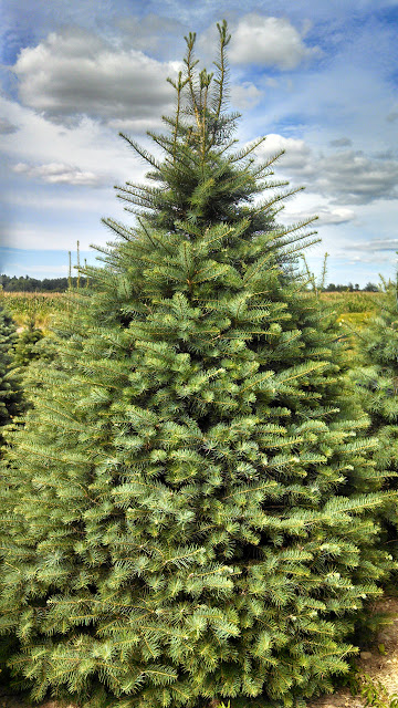 Christmas Tree Farms In Michigan