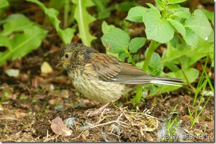 Dark Eyed Junco Fledgling