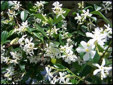 confed jasmine