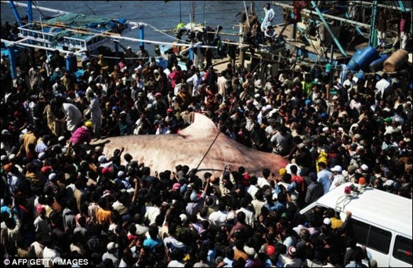 Giant 40-foot Whaleshark Caught 03