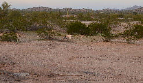 desert kitty loves exploring with freedom watch out for coyotes, Jeremy