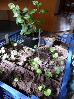 013 Potentilla nepalensis 'Miss Willmott' Digitalis viridiflora Primula florindae 'Keilour' Fuchsia 'Deep Purple' Daniel Grankvist