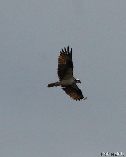 3. osprey-kab