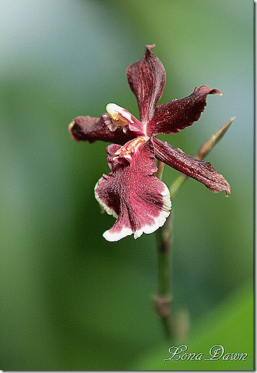 FPC_Orchid_Rust_Beauty