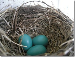 800px-American_Robin_nest_and_eggs