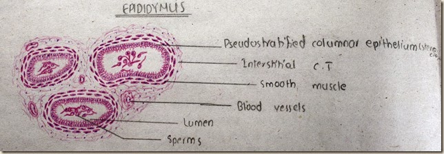 Epididymus high resolution histology diagram