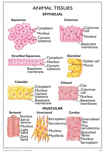 Multiple Choice Quiz on Animal Tissues | Biology Multiple Choice Quizzes