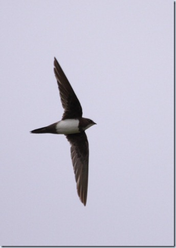 alpine_swift1