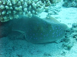 Ray under Coral