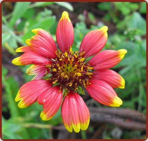 12-15-blanket-flower