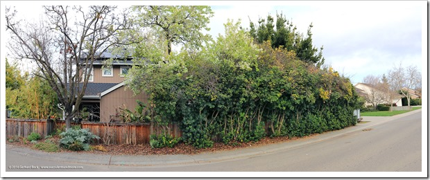140216_pittosporum_hedge_pano