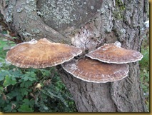 IMG_2194 bracket fungus