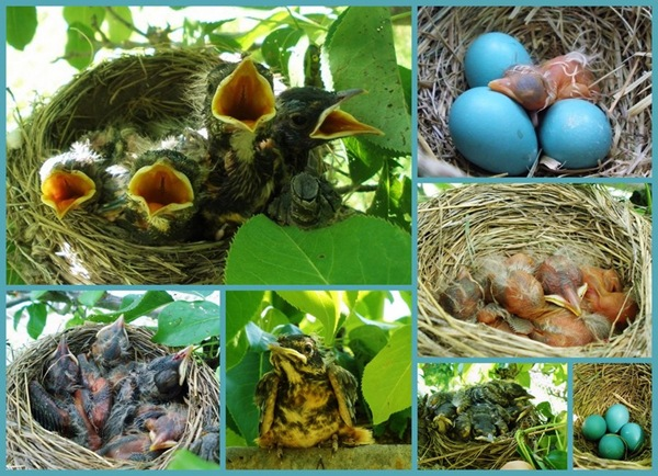 Collage Baby Robin Grow_tn