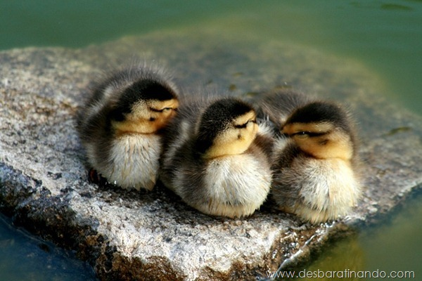 filhotes-patos-fofos-pequenos-desbaratinando (16)