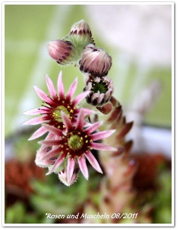 4Steinpflanze (2)