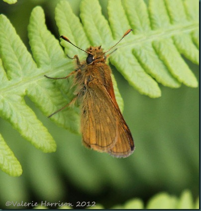large-skipper (2)