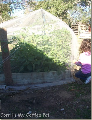 cold frames- tomatoes- fall gardens 003