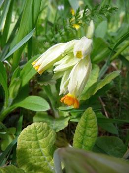 036 korr Primula veris Olofsfors bruk Daniel Grankvist