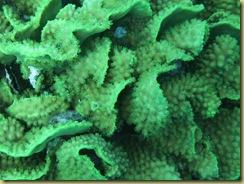 SG Lettuce Coral