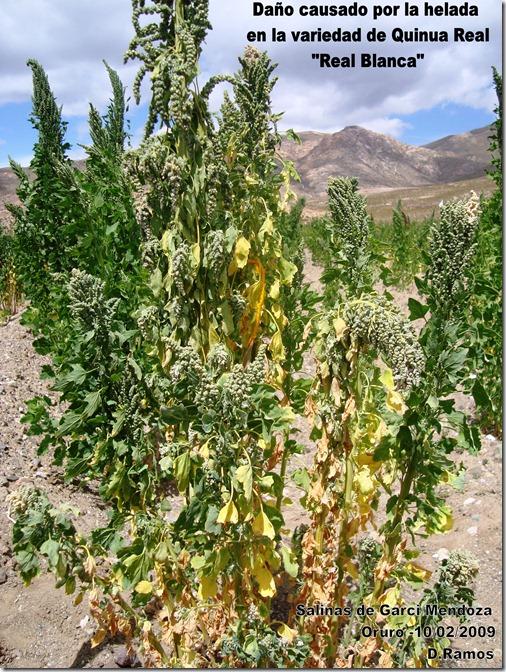Daño_causado_por_las_heladas_en_la_variedad_de_Quinua_ Chenopodium_quinoa_Real_Blanca-D.Ramos-Laquinua.blogspot.com