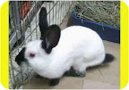 Companion bunnies give frequent kisses, eat from your hand and can learn tricks.Milkyway, above, is small now, but when he's grown, he will be a big bunny!! Very active and spry, he will need a lot of room to exercise his twinkle toes. He would benefit from having a partner bunny.