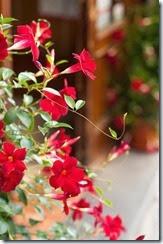 flores vermelhas em jardim