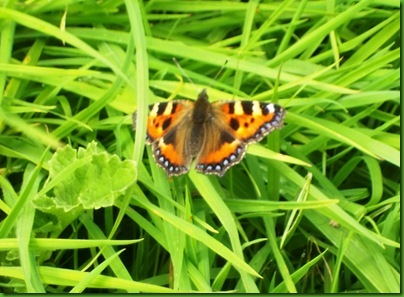 016-1  The Small Tortoiseshell Butterfly