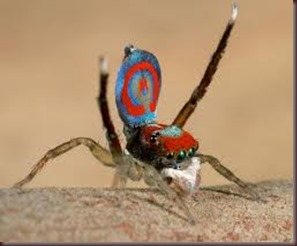 Amazing Pictures of Animals, photo, Nature ,exotic, funny, incredibel, Zoo, Maratus volans,  Peacock spider or Gliding spider, Alex (28)