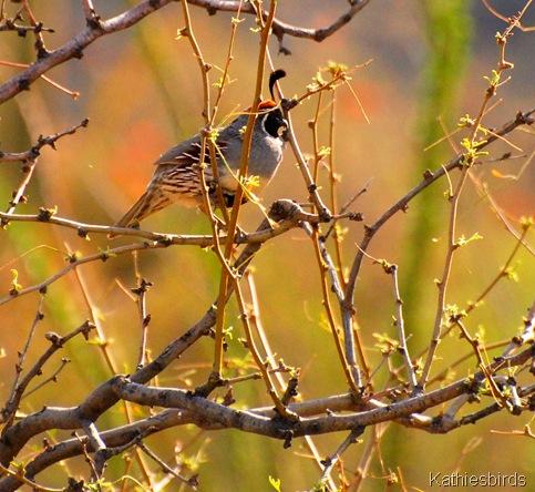1. Gambel's quail-kab