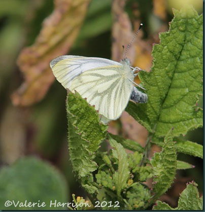 40-green-veined-white-butterfly