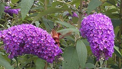 butterfly bush w hummingbird moth2.8.2013