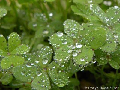water drops on leaves © Evelyn Howard 2011