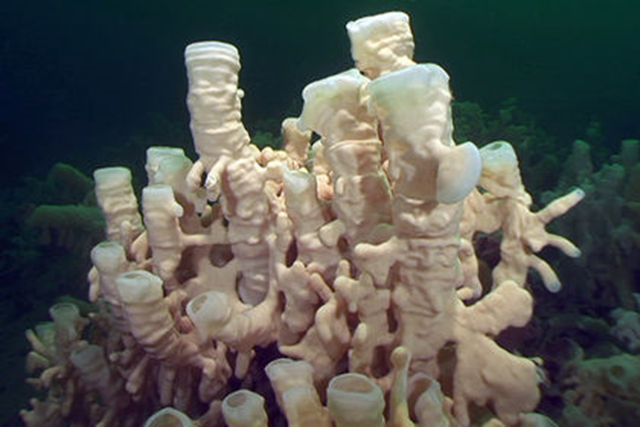 It's only been a few years since scientists in B.C. rediscovered ancient glass sponge reefs once thought to be extinct, but the same scientists are now warning the creatures are at risk of destruction from fishing operations. Photo: Neil McDaniel