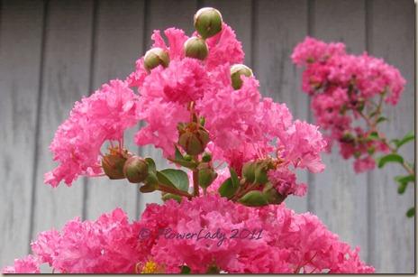 07-06-pink-crepe