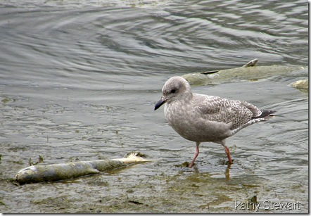 Glaucous Wing Gull - 1st winter