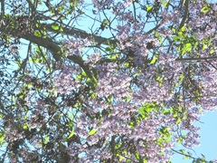 tree with purple flowers2