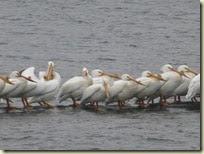 Briggs Woods Pelicans (2)