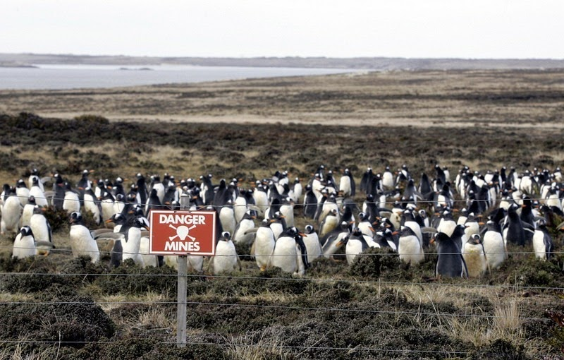falkland-penguins-minefield-1