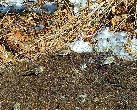 3-24-15 common redpolls in yard