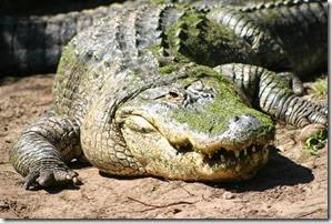 02 alligator