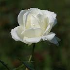 angkorsite_flower_1 (100).jpg