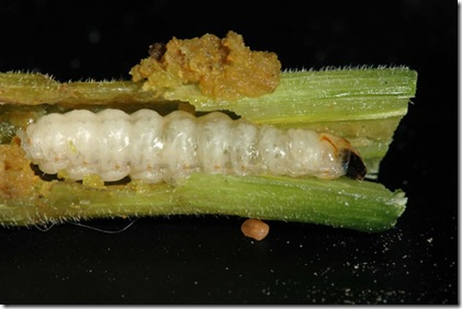Squash vine borer maggot