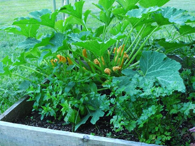 garden_zucchini