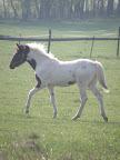 Elli, Paint Horse/Am.klusák, O: ? M: Emilka, narozena u nás 5.9.2008 v říjnu 2011 prodána, nyní v Janovicích-Bystrém