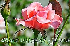 11   - Glória Ishizaka - Rosas do Jardim Botânico Nagai - Osaka