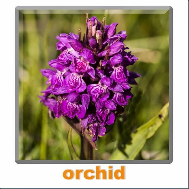 orchididk