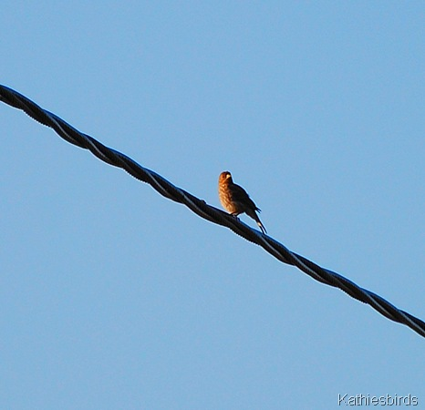 21. house finch-kab