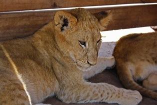 Lion Cub, Lion Park Johannesburg